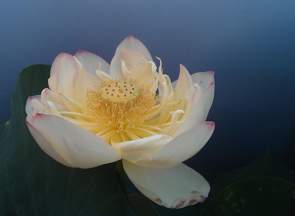 http://www.adhikara.com/fior-di-loto/lotus%2037.jpg